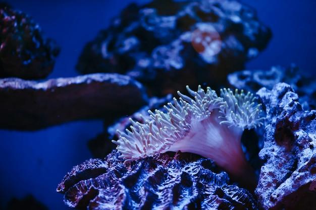 Seeanemone auf korallenriff in violettem licht.