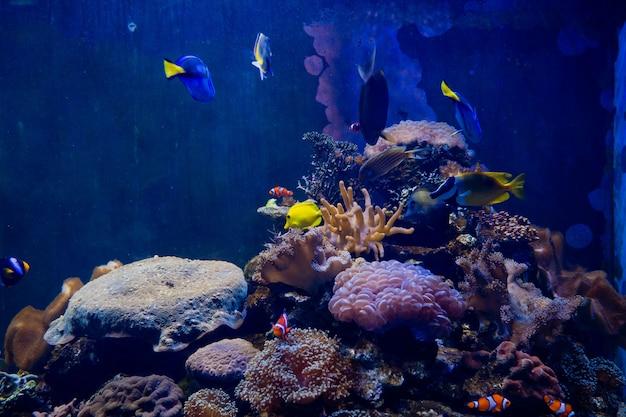 Seeanemone mit clownfischen