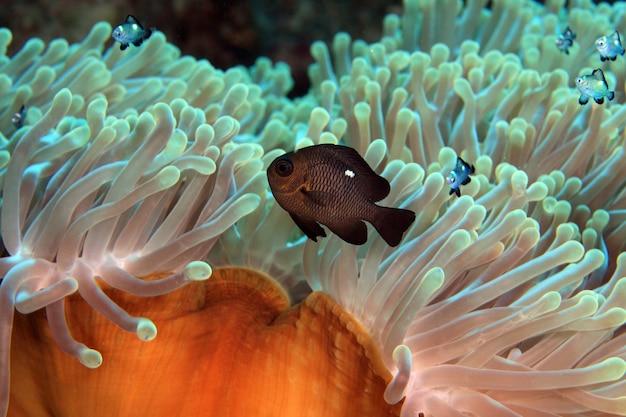 Seeanemone und clownfisch rotes meer