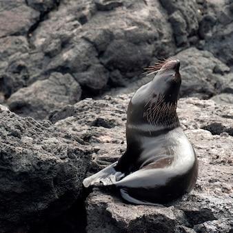 Seebär auf einem felsen, puerto egas, santiago island, galapagos-inseln, ecuador