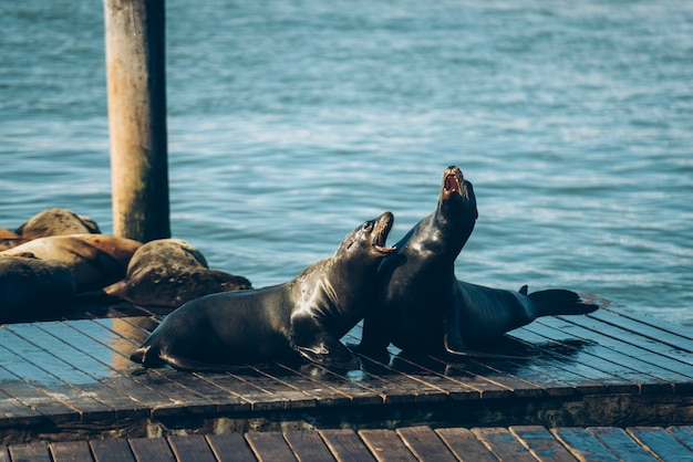 Seehunde auf der holzbrücke