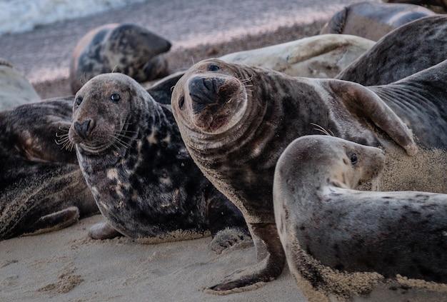 Seehunde, die tagsüber am strand liegen