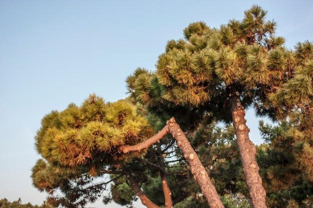 Seekiefern: typische vegetation des po-deltas in italien.