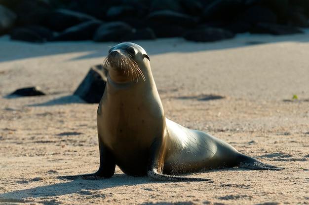 Seelöwe auf dem strand, punta suarez, espanola-insel, galapagos-inseln, ecuador