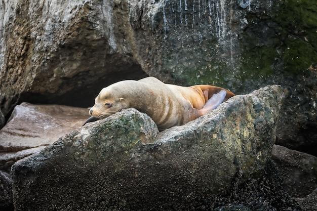 Seelöwe, der auf einem stein in monterey, kalifornien entspannt