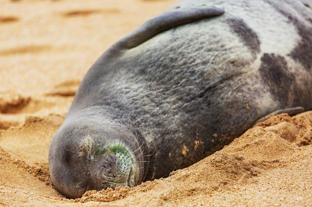 Seelöwe im hawaiianischen strand