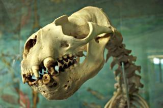 Seelöwe skelett