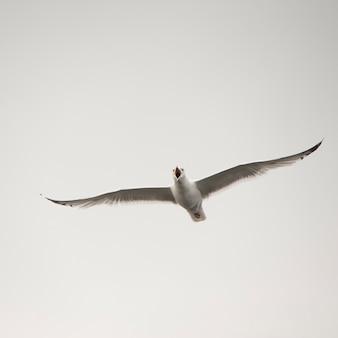 Seemöwe, die in den himmel über see des holzes, ontario fliegt
