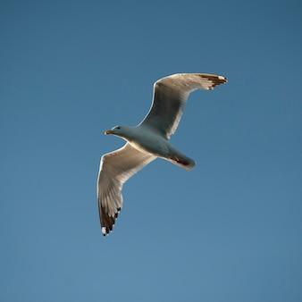 Seemöwe im flug über see des holzes, ontario