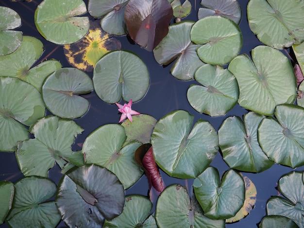 Seerose auf dem kleinen see, reizende blumen weiße nymphaea alba, allgemein genannt seerose oder seerose unter grünen blättern und blauem wasser