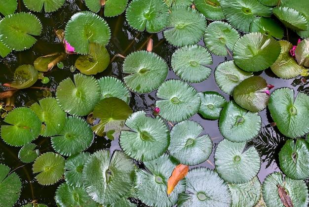 Seerose lotus (nymphaea nouchali) blätter unter sonnenlicht