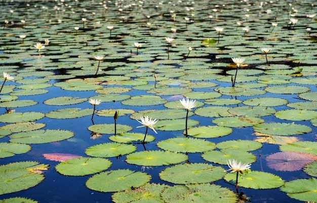 Seerose mit vielen grünen blättern und schönen blumen weiße farbe, natürlicher hintergrund