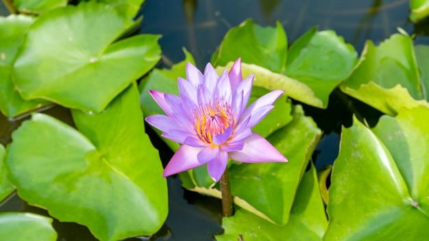 Seerose oder lotusblume am morgen.