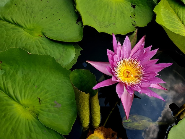 Seerose oder lotusblume und grüne blätter mit wasserreflexion von wolken am himmel