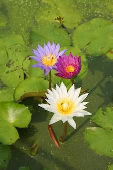 Seerosenblumen, die auf teich blühen