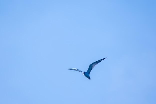 Seeschwalbe fliegt, seeschwalbe ist ein kleiner seevogel. , wissenschaftlicher name sternula albifrons, seeschwalbe ist eine art von seevögeln.