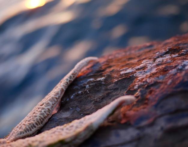 Seestern auf einem felsen in der nähe des meeres
