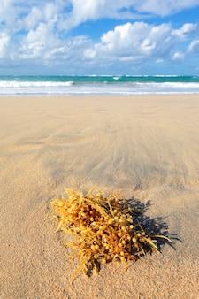 Seetang an einem karibischen strand im sommer