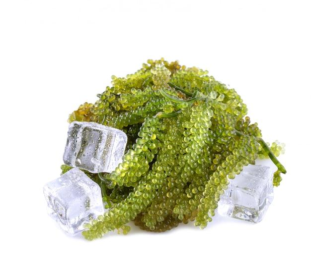 Seetang (grüner kaviar) algen