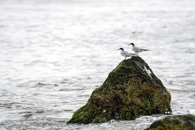 Seevögel auf felsen, die mit seegras und schlamm an der ozeanküste bedeckt sind