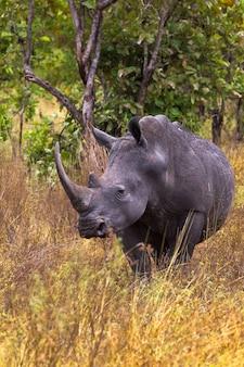 Sehr großer nashorn meru park kenia