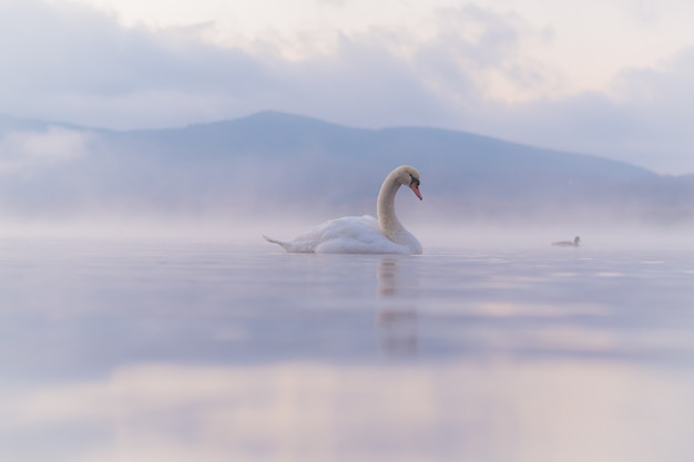 Sehr schöner weißer schwan am yamanaka-see mit dem berg. fuji-hintergrund, berühmter und ruhiger platz