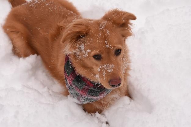 Sehr süßer goldener hund, der sich an einem wintertag im schnee festlegt.