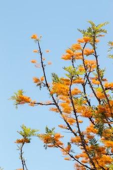 Seide eiche (grevillea robusta)