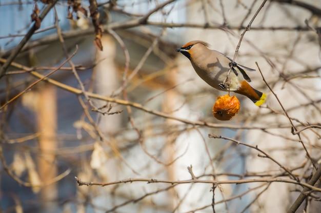 Seidenschwanz, der apfel isst