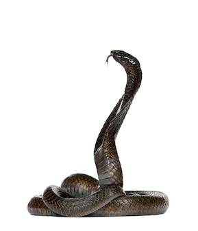 Seitenansicht der ägyptischen kobra, naja haje isoliert