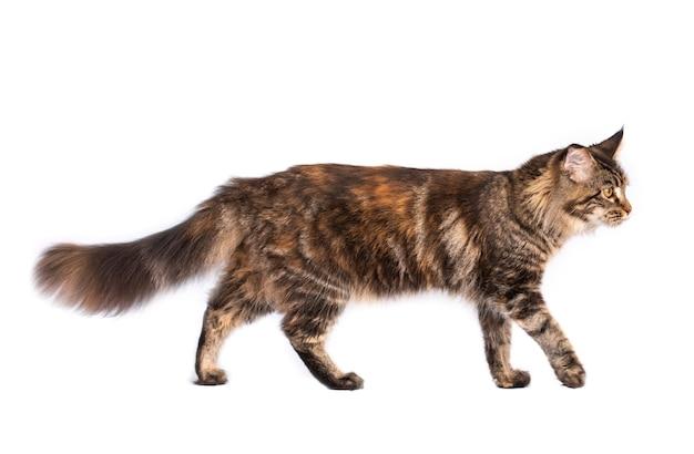 Seitenansicht der gestreiften pelzigen katze isoliert auf weißem hintergrund