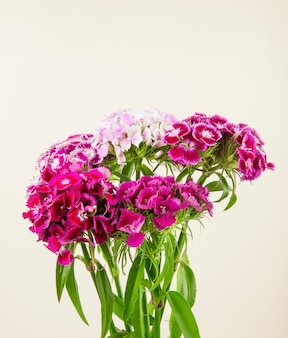 Seitenansicht der süßen farbe der weißen farbe william oder der türkischen nelkenblumen lokalisiert auf weißem hintergrund