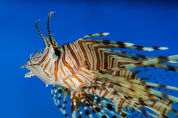 Seitenansicht des giftigen volitan lionfish, der in einem aquarium schwimmt