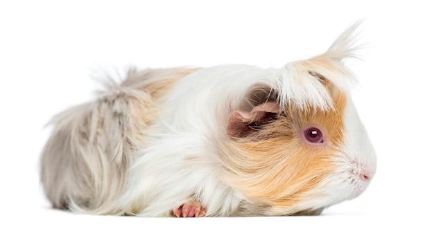 Seitenansicht des peruanischen meerschweinchens, isoliert auf weiß