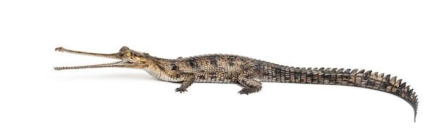 Seitenansicht eines jungen fischfressenden krokodils, gavial, gavialis gangeticus, lokalisiert auf weiß