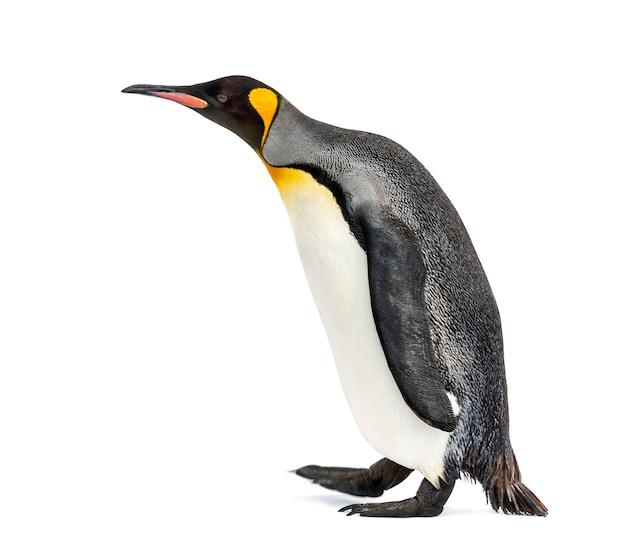 Seitenansicht eines königspinguins zu fuß, isoliert auf weiß