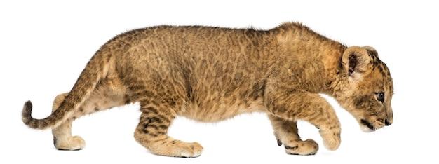 Seitenansicht eines löwenjungen, der neugierig lokalisiert auf weiß geht