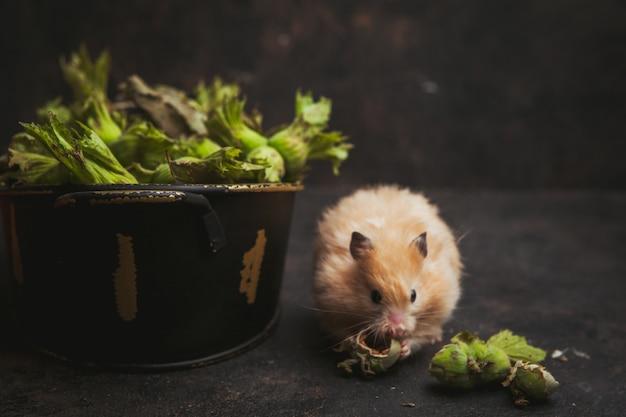 Seitenansicht hamster essen haselnuss auf dunkelbraun.