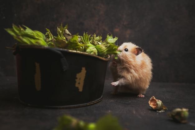 Seitenansicht hamster riecht haselnuss auf dunkelbraun.