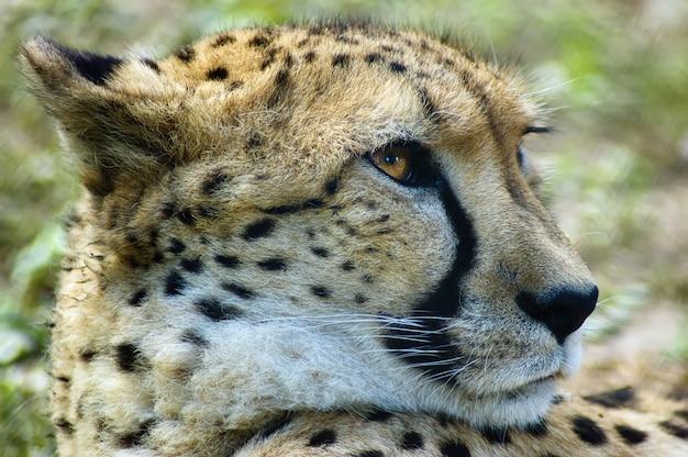 Seitenansicht-kopfschuß des geparden