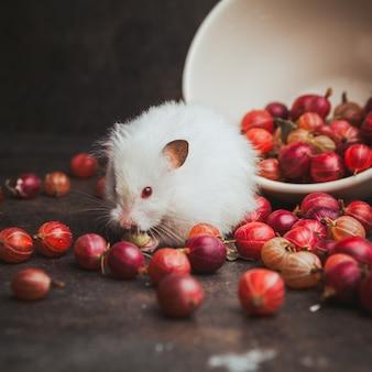 Seitenansicht stachelbeere in schüssel mit hamster, der haselnuss auf dunkelbraun isst.