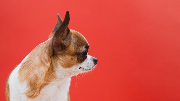 Seitlich chihuahuahund mit rotem kopienraumhintergrund