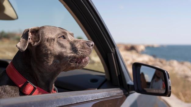 Seitwärts hund, der in einem auto bleibt, während er mit seinen besitzern reist
