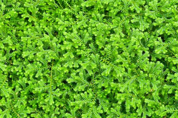 Selaginella kraussiana (trailing selaginella), kleine pflanzen mit hellgrünen blättern, die als zierpflanzen für bodendecker angebaut werden