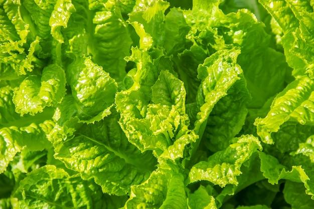 Selbst gemachter organischer salat wächst im garten. selektiver fokus