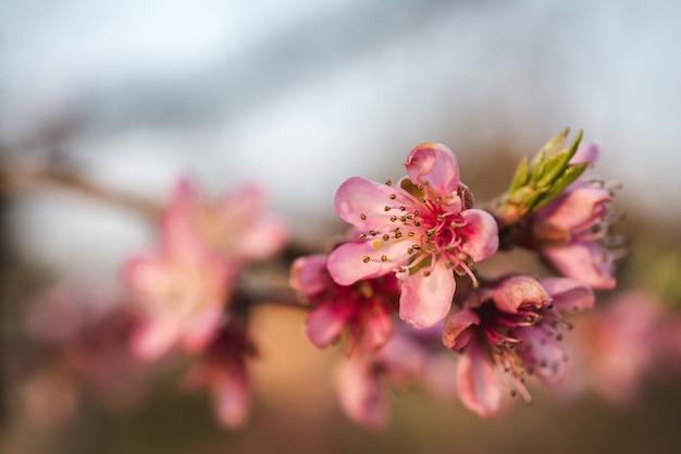 Selektive fokusansicht der schönen kirschblüten in einem garten, der an einem hellen tag gefangen genommen wird