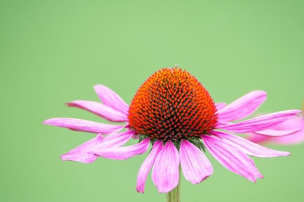 Selektive fokusaufnahme einer black-sampson echinacea-blume im garten