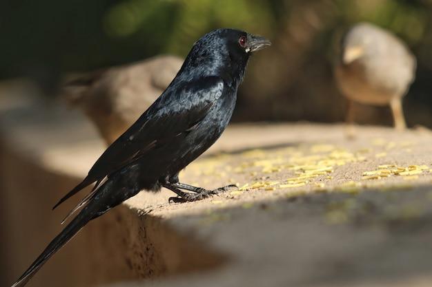 Selektive fokusaufnahme einer krähe, die auf einer betonoberfläche sitzt