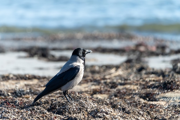 Selektive fokusaufnahme einer nebelkrähe am strand