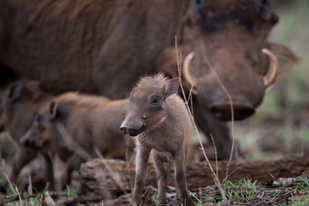 Selektive fokusaufnahme eines baby-warzenschweins